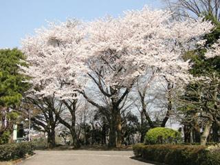 Sakura090407a